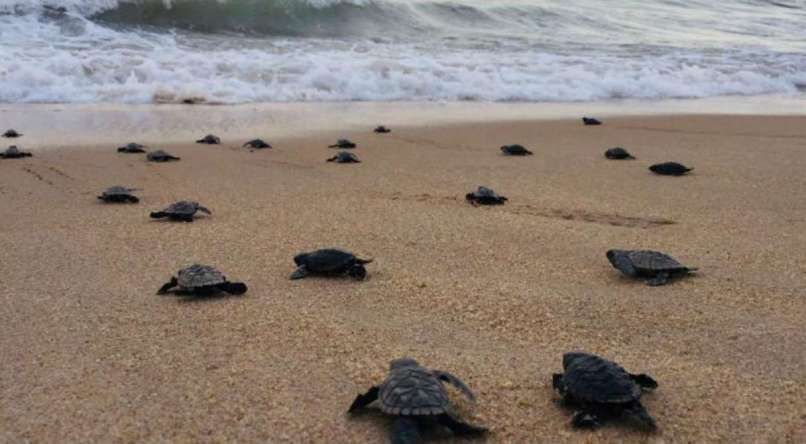 Turtles heading towards the sea
